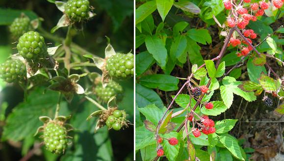 Blackberries at the upper elevations weren't ripe. Those down in Triple Falls (below) were.