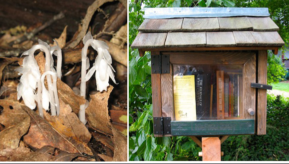 Tiny finds: Indian pipe on the Buck Spring trail, and a tiny library in Asheville.