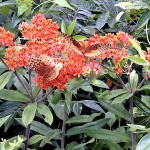 Butterflies on the Asclepias tuberosa, or butterfly weed